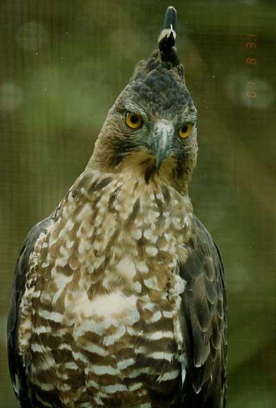 -Burung Elang Jawa (Nisaetus bartelsi)-