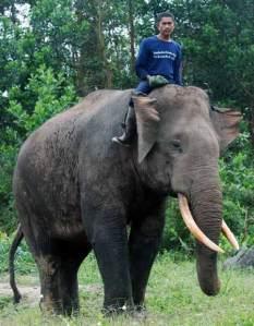 Gajah Sumatera (Elephas maximus sumatranus)