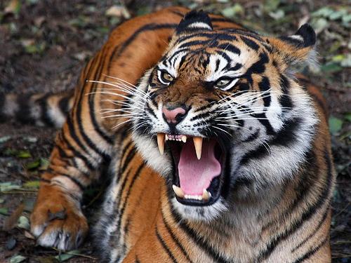Harimau Jawa (Panthera tigris sundaica)